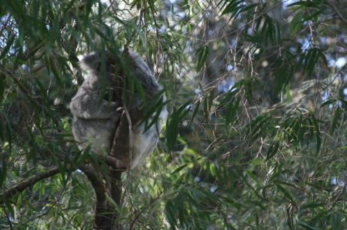 Outro coala, de frente, também dormindo. Dá pra ver o focinho dele, vê?